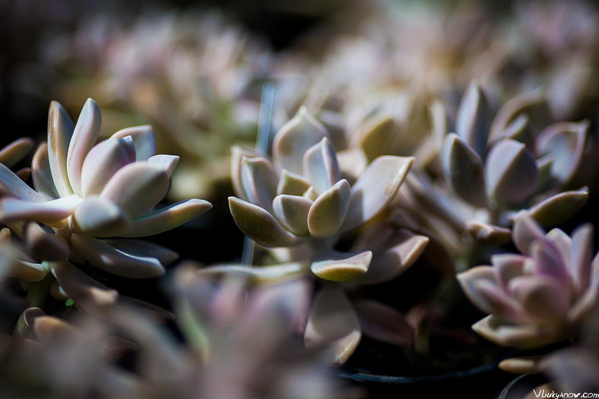 Владимир Лукьянов, Фотограф, Грузия, город, Тбилиси, сад, растения, природа, гардения